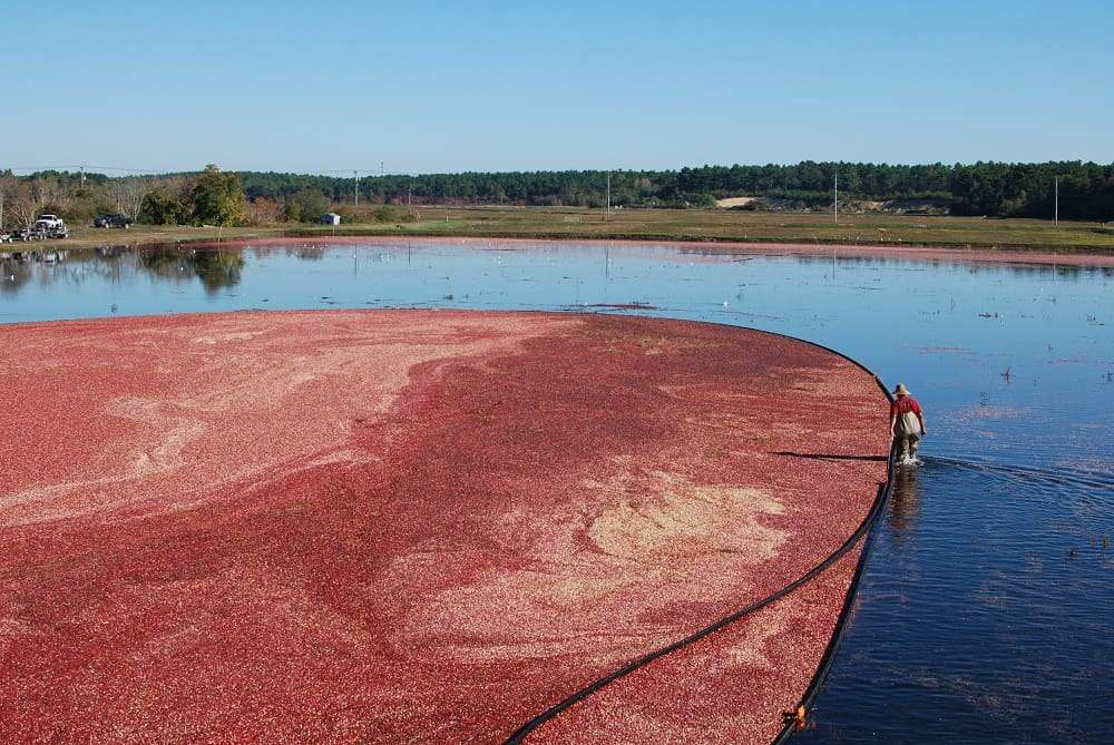 A large cranberry bog on a sunny day